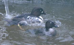 V Bratislavskej ZOO pribudli nové vodné vtáky a narodili sa malé kozliatka
